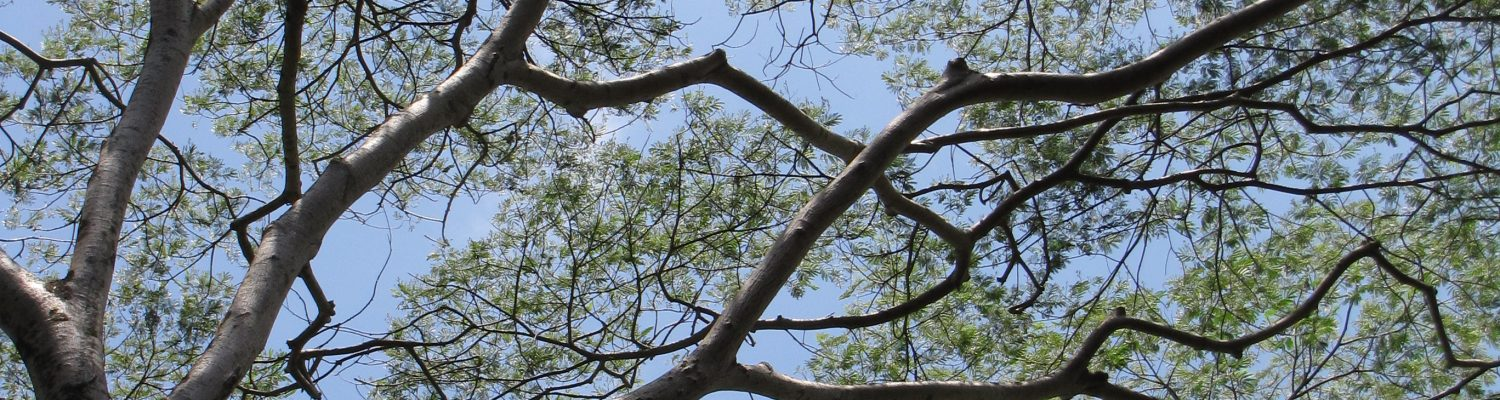 Albizia: The Fastest Growing Tree in the World (in Hawaiʻi)